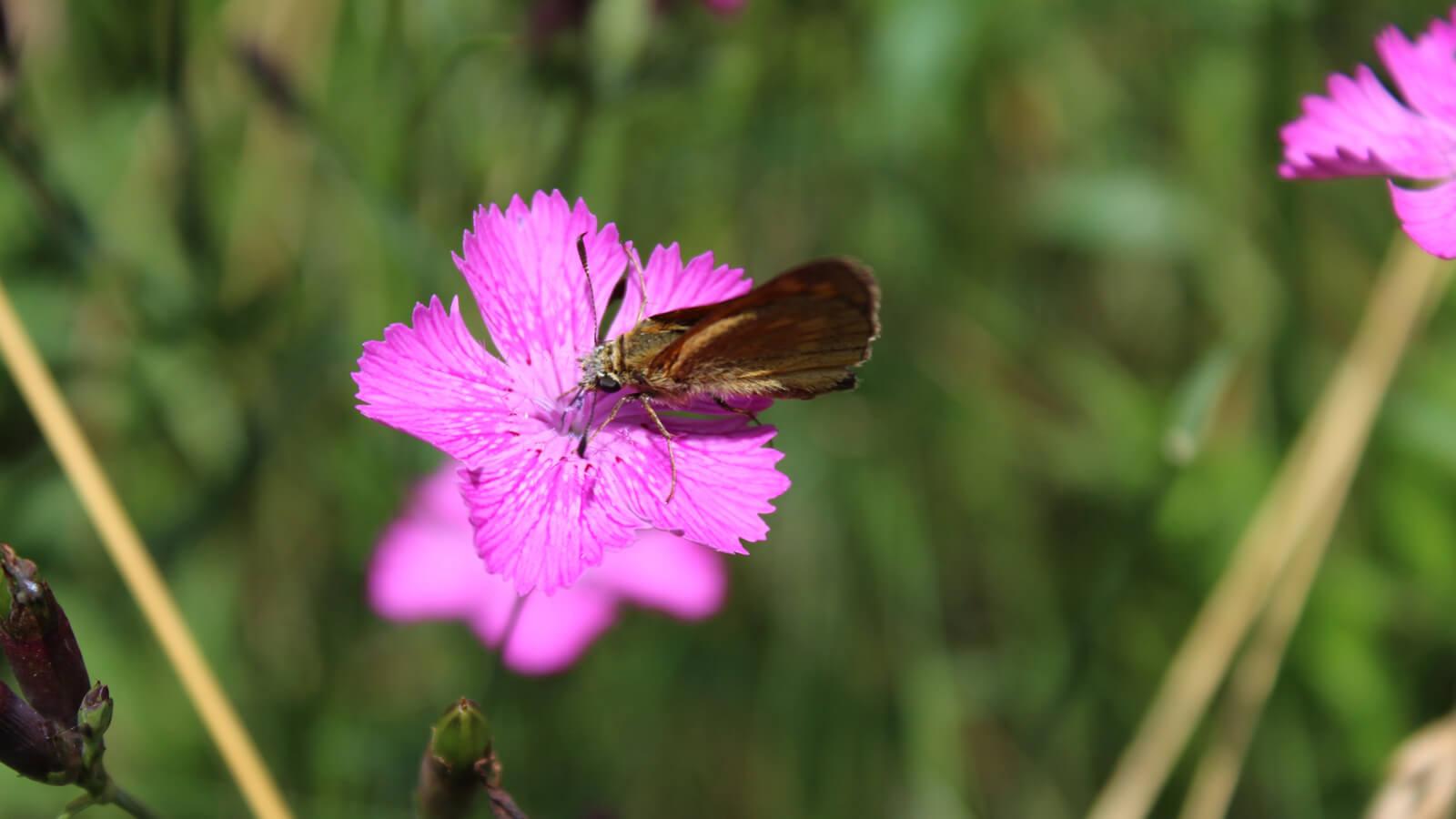 Schmetterling auf einer Nelke. Foto: LEV MS