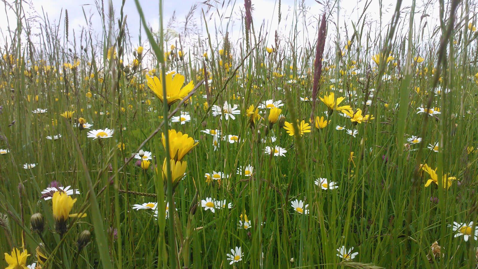 Blumenwiese u.a. mit Margeriten, Wiesen-Bocksbart, Rotklee, Wiesen-Pippau. Foto: LEV MS