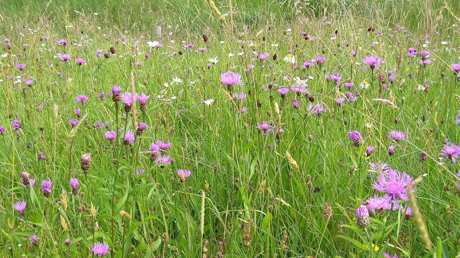 Blumenwiese u.a. mit Flockenblumen, Klappertopf, Margeriten und Wiesenknopf-Arten. Foto: LEV MS