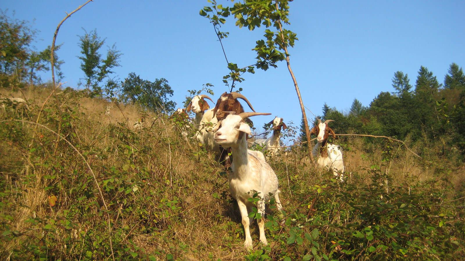 Ziegen in der Landschaftspflege. Foto: LEV MS
