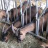 Milchziegenlehrfahrt Ziegenhof Hohenkarpfen Ziegen. Foto: LEV MS