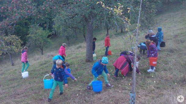 Schulprojekt Streuobstwiese Gründlebühl Herbst 2015 - beim Äpfel auflesen. Foto: LEV MS