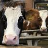 Stallbaulehrfahrt - Seminar Stallbaulösungen für kleine Rinderbestände - Milchviehbetrieb 2. Foto: LEV MS