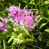 Flockenblumen. Foto: LEV MS