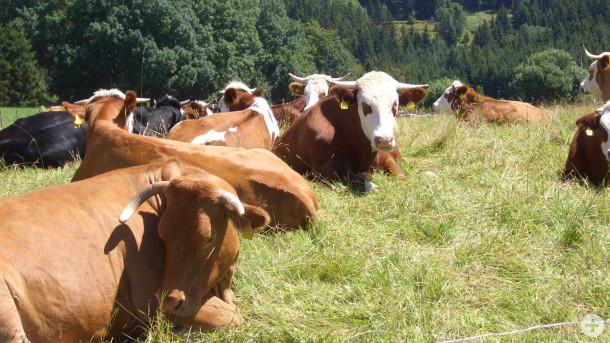 Grünlandbewirtschaftung durch die Beweidung mit Rindern. Foto: LEV MS