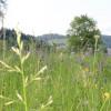 Die Salbeiglatthaferwiese ist in voller Blüte. Foto: LEV MS.