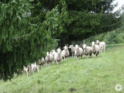 Weidetierhaltung im Schwarzwald. Foto: LEV SBK